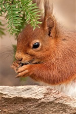 Preview iPhone wallpaper Brown color squirrel, pine needles