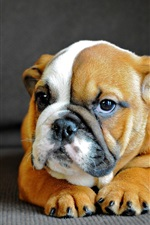 Preview iPhone wallpaper Bulldog, cute puppy front view