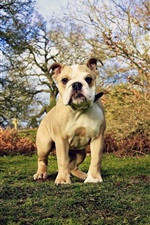 Bulldog, grass, trees