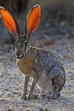 Preview iPhone wallpaper Bunny, wild rabbit