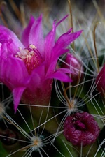 Preview iPhone wallpaper Cactus pink flowers macro photography