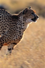 Preview iPhone wallpaper Cheetah running speed