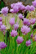 Preview iPhone wallpaper Clover flowers, purple, stones
