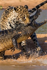 Preview iPhone wallpaper Crocodile and jaguar hunting