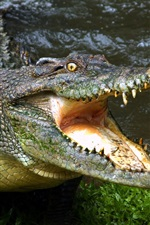 Crocodile open mouth, fangs, reptile