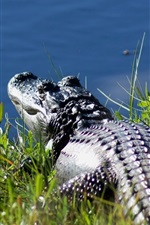 Preview iPhone wallpaper Crocodile rest at pond side
