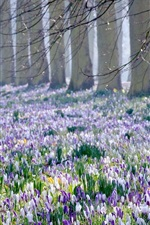 Preview iPhone wallpaper Crocus fields, trees, spring
