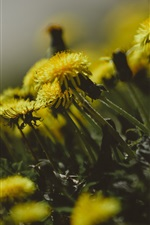 Preview iPhone wallpaper Dandelions flowers, yellow petals, blurry