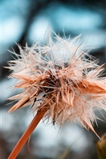 Dry dandelion flower, seeds