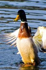Preview iPhone wallpaper Duck dancing in water