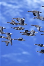 Preview iPhone wallpaper Ducks flying, blue sky