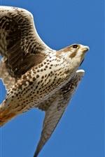 Falcon flying, wings, blue sky