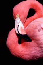 Preview iPhone wallpaper Flamingos pink feathers, black background