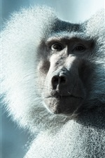 Preview iPhone wallpaper Fluffy monkey, baboon, look back