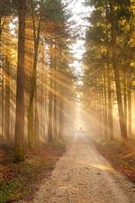 Floresta, caminho, árvores, dourado, sol, raios