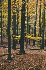 Preview iPhone wallpaper Forest, trees, yellow foliage, autumn