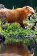 Preview iPhone wallpaper Foxes playful, grass, water
