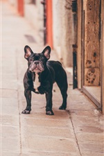 Preview iPhone wallpaper French bulldog at outdoor