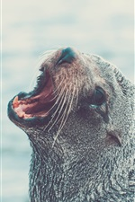 Preview iPhone wallpaper Fur seal yawn, head, water