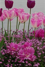 Preview iPhone wallpaper Garden flowers, pink and purple tulips