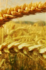 Preview iPhone wallpaper Golden wheat photography