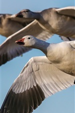 Preview iPhone wallpaper Goose flying, sky