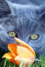 Preview iPhone wallpaper Gray cat found a tulip flower