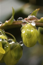 Preview iPhone wallpaper Green flower buds, water drops, spring