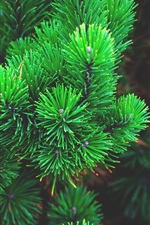 Preview iPhone wallpaper Green pine branches
