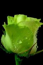 Green rose, dew, black background