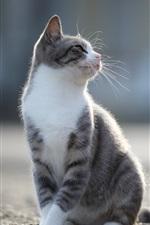 Preview iPhone wallpaper Grey cat look back