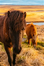 Preview iPhone wallpaper Horses eat grass, river