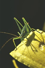 Preview iPhone wallpaper Insect grasshopper close-up, yellow lily petals