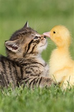 Preview iPhone wallpaper Kitten and duckling, friendship