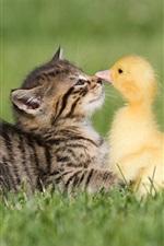 Kitten and duckling, friendship