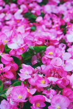 Preview iPhone wallpaper Many pink flowers, lawn