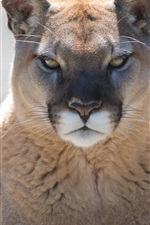 Preview iPhone wallpaper Mountain lion front view, cougar