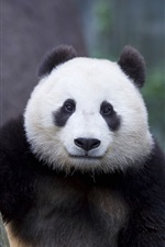 Preview iPhone wallpaper Panda portrait