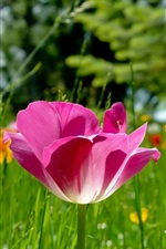 Preview iPhone wallpaper Pink tulip and yellow flowers