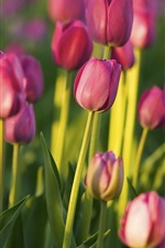 Preview iPhone wallpaper Pink tulips, garden
