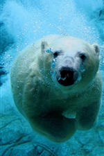Polar bear swim, underwater, bubble