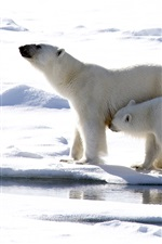 Preview iPhone wallpaper Polar bears, mother and cub, snow