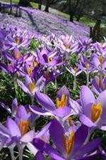 Purple flowers, field