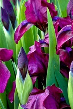 Preview iPhone wallpaper Purple irises flowers, green leaves
