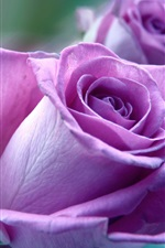 Preview iPhone wallpaper Purple rose