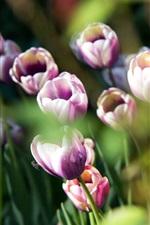 Preview iPhone wallpaper Purple white petals tulips, bokeh