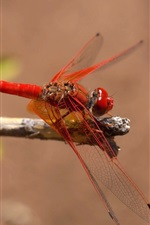 Red dragonfly, insect