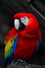Preview iPhone wallpaper Red feather parrot close-up