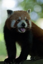 Preview iPhone wallpaper Red panda, tongue, blurry background