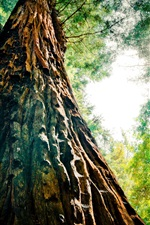 Preview iPhone wallpaper Redwood, trees, forest, view from bottom, glare